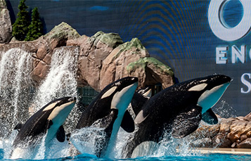 Three orcas at SeaWorld jumping in air