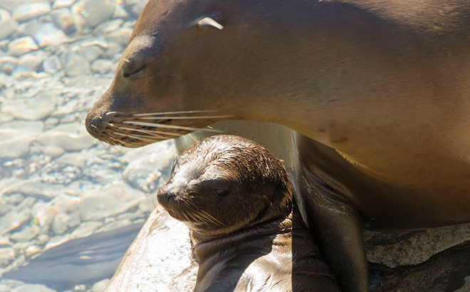 Sea lion mom and her pup